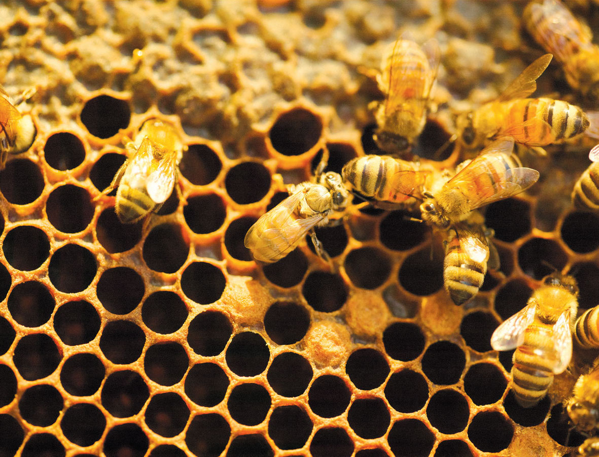 Bees are crucial to the health of a vineyard