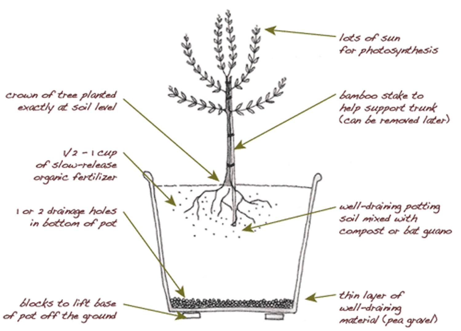 Plant An Olive Tree In Your Edible Backyard Garden Marin Wine Country