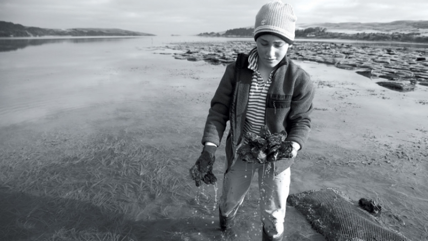 Boy harvesting oysters at Pickleweed Point