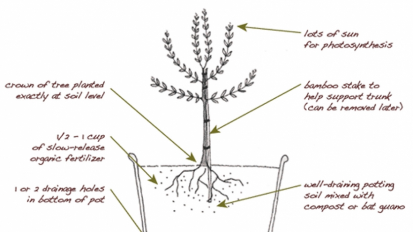 Planting and growing an olive tree illustration