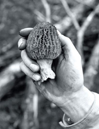 Morel mushroom hunted in the wild