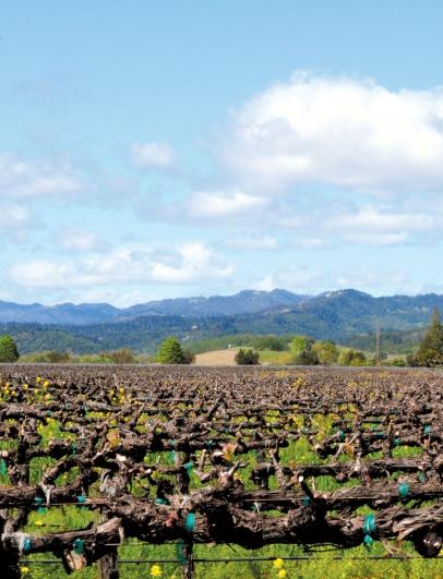 The vines in Napa