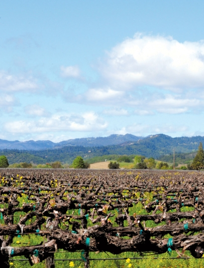 The vines in Napa