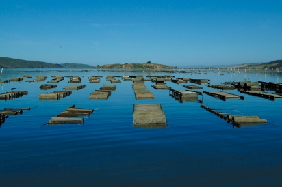 Oyster growing racks at Hog Island Oyster Company