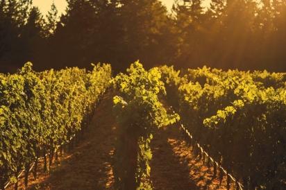 Vineyards at Clif Family Farm
