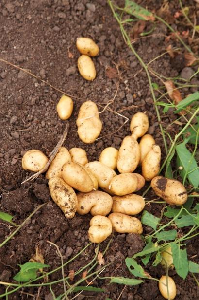 Potatoes dug at The Croft
