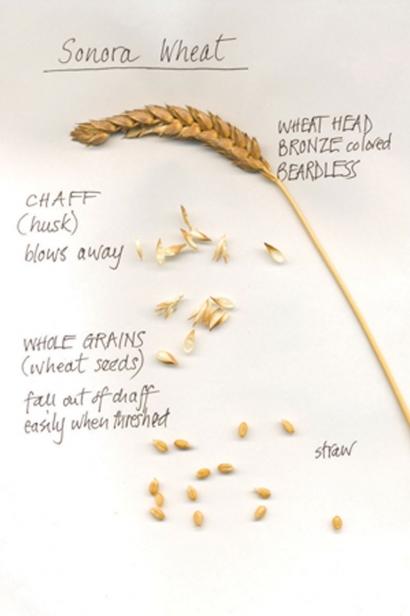 Sonora wheat, one of most popular grain varieties